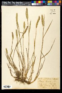 Image of Phleum michelii