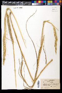 Image of Spartina ciliata