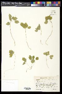 Image of Anemone thalictroides