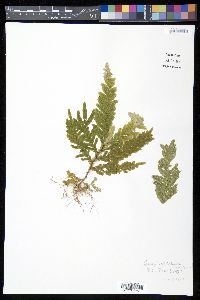 Image of Selaginella stipulata