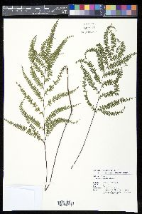 Image of Lindsaea pacifica