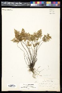 Cheilanthes californica image