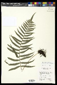 Image of Polypodiodes chinensis