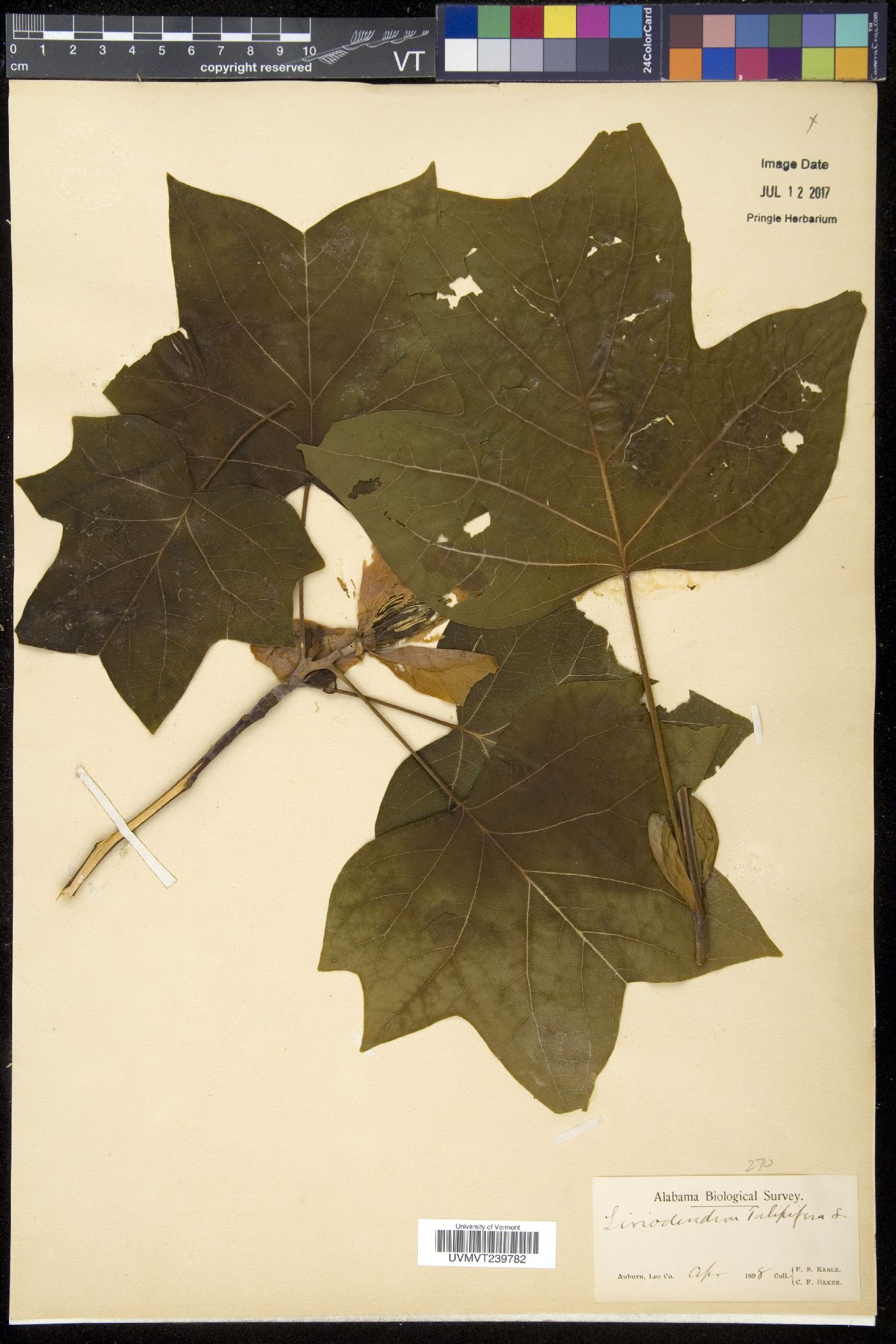 Linodendron image