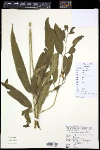 Image of Coniogramme japonica