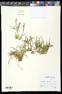 Image of Diphasiastrum wightianum