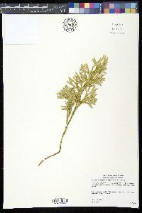 Image of Dendrolycopodium hickeyi