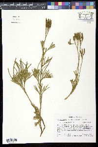 Diphasiastrum thyoides image