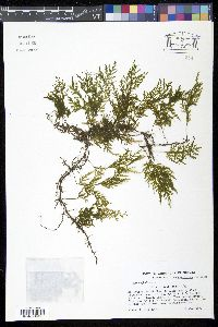 Trichomanes hymenophylloides image