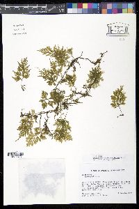 Image of Trichomanes hymenophylloides