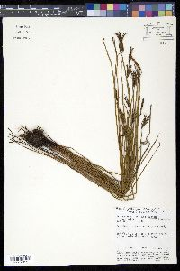 Image of Actinostachys pennula