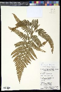 Image of Microlepia trichocarpa