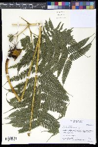 Image of Pteris muricella
