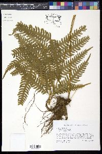 Image of Pteris biaurita