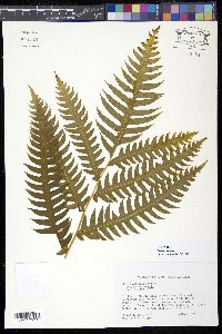 Image of Pteris arborea