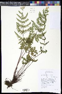 Image of Cheilanthes farinosa