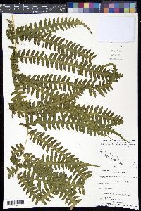 Image of Pteris werneri