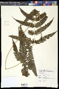 Image of Pteris arisanensis