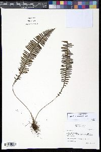 Image of Mycopteris costaricensis