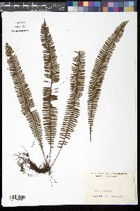 Image of Mycopteris taxifolia