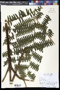 Image of Pteris navarrensis