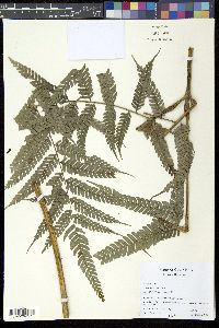 Image of Pteris muricata