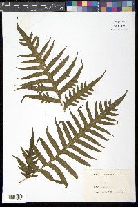 Image of Pteris altissima