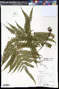 Image of Pteris pacifica