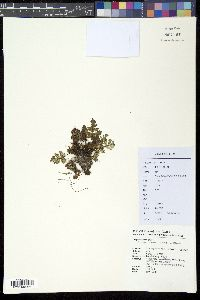 Image of Cheilanthes argentea