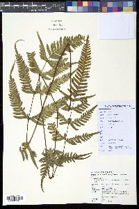 Image of Pteris oshimensis