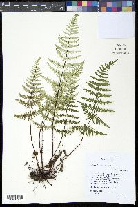 Cheilanthes farinosa image