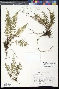 Image of Thelypteris consanguinea