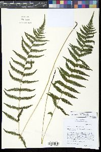 Image of Thelypteris simulata
