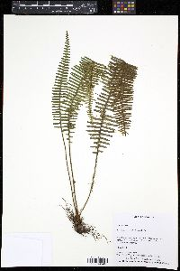 Image of Terpsichore taxifolia