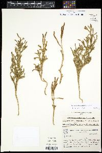 Image of Austrolycopodium erectum