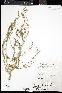 Image of Atriplex subspicata