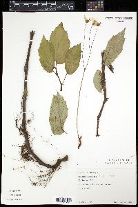Image of Begonia decandra