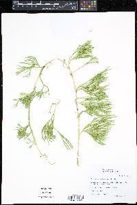 Image of Diphasiastrum sabinifolium