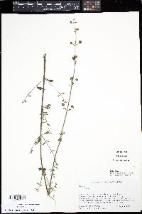 Image of Hyptis microphylla