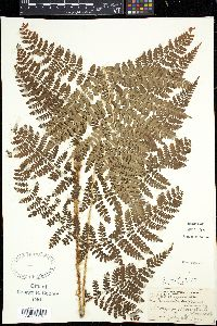 Image of Thelypteris spinulosa