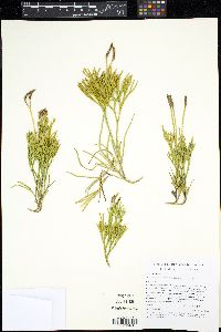 Diphasiastrum fawcettii image