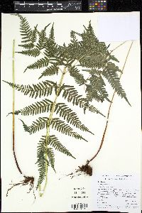 Image of Pteris hispaniolica