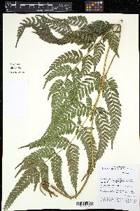 Image of Pteris stridens