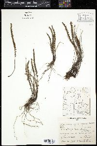 Image of Cheilanthes pruinata