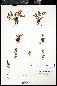 Image of Woodsia ilvensis