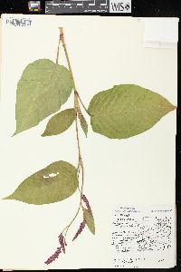Image of Polygonum orientale