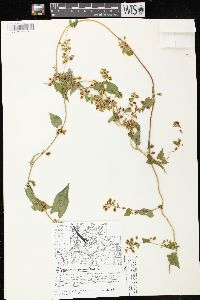 Image of Polygonum scandens
