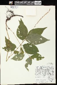 Image of Polygonum virginianum