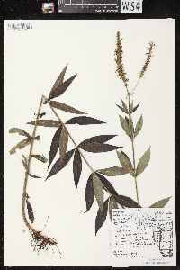 Image of Veronicastrum virginicum