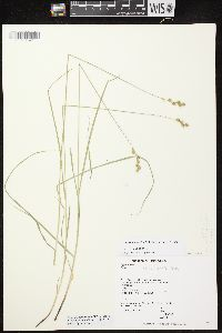 Image of Carex echinodes